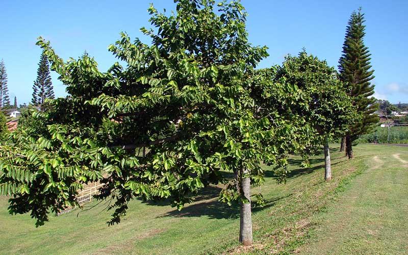 Ylang_tree-