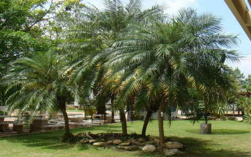 Palm-Xishuangbanna