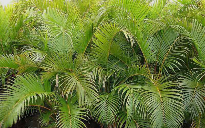 Areca-Palm-news-site