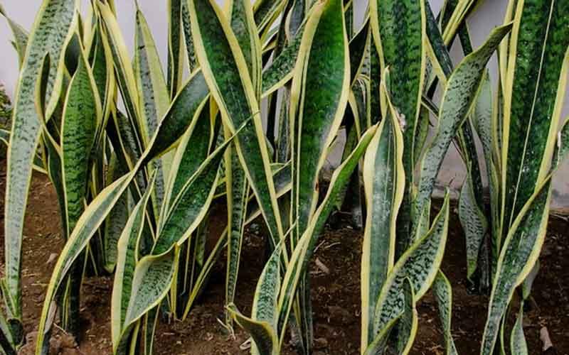 Snake-Plant-news-site