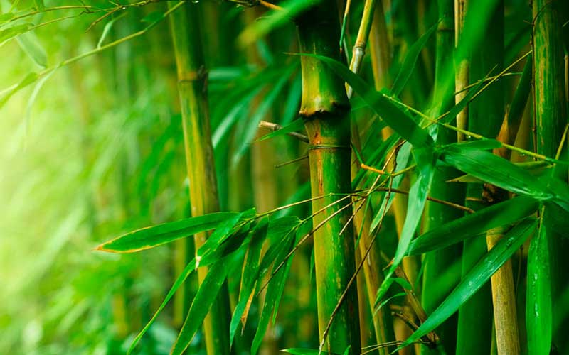 If_bamboo-