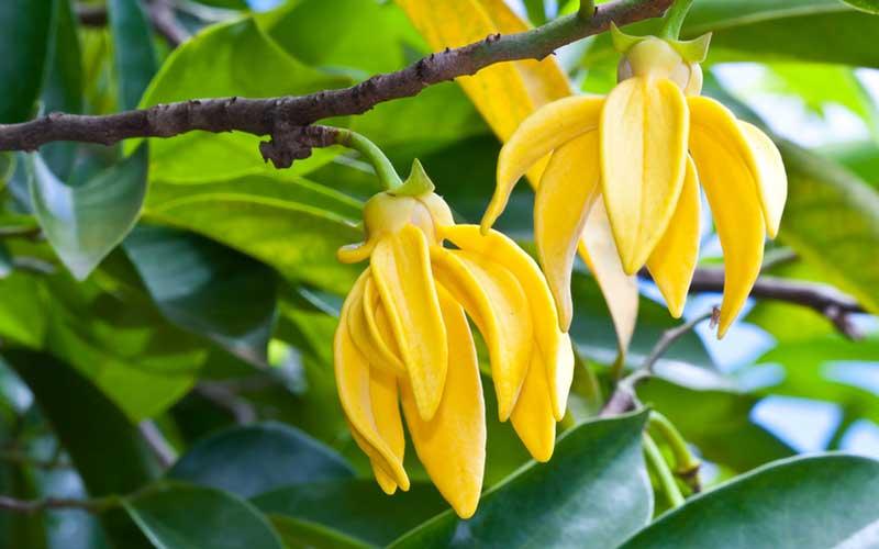 Ylang_tree